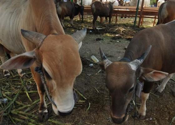 Nusabali.com - populasi-menyusut-bali-target-1-juta-sapi