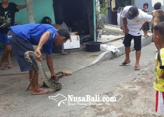 Nusabali.com - ular-piton-3-meter-hebohkan-warga-kampung-baru