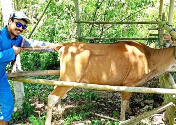 Nusabali.com - peternak-pertanyakan-sperma-sapi-buatan-terbatas