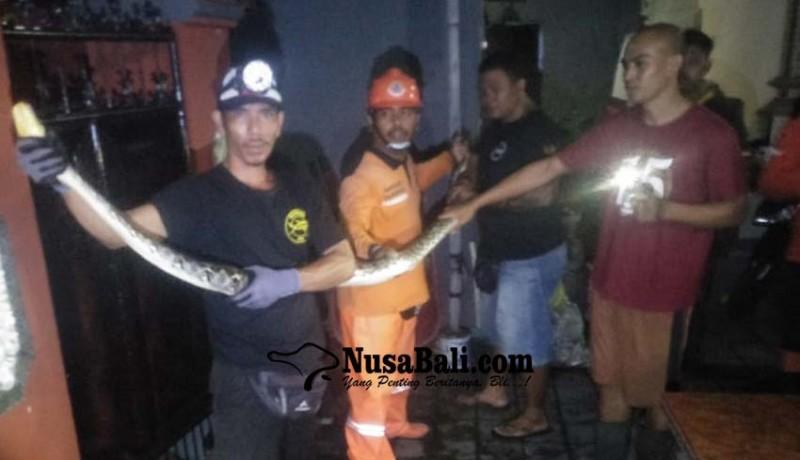 www.nusabali.com-ular-piton-masuki-rumah-warga-kelurahan-abianbase