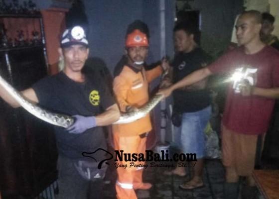 Nusabali.com - ular-piton-masuki-rumah-warga-kelurahan-abianbase