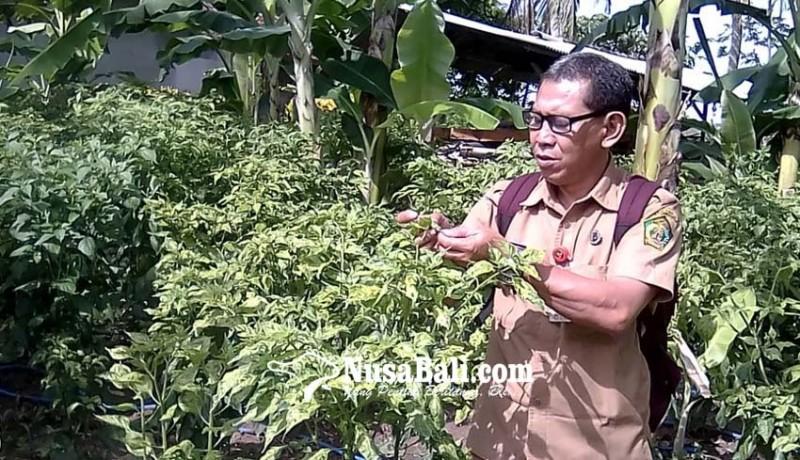 www.nusabali.com-mendekati-panen-petani-cabai-keluhkan-serangan-hama