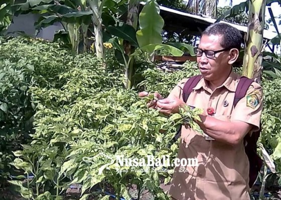 Nusabali.com - mendekati-panen-petani-cabai-keluhkan-serangan-hama