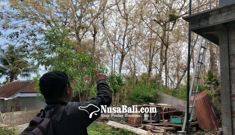 www.nusabali.com-kemarau-panjang-usai-ulat-jati-menyerbu