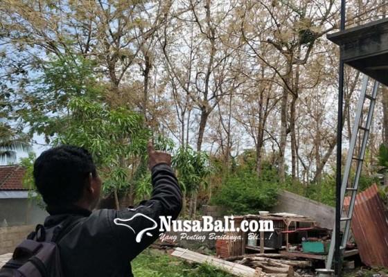 Nusabali.com - kemarau-panjang-usai-ulat-jati-menyerbu