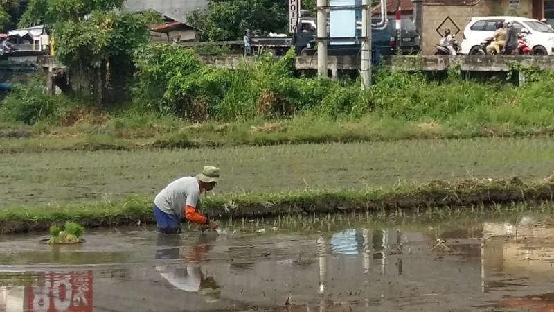 www.nusabali.com-hama-serang-6-hektare-padi-di-subak-sambangan