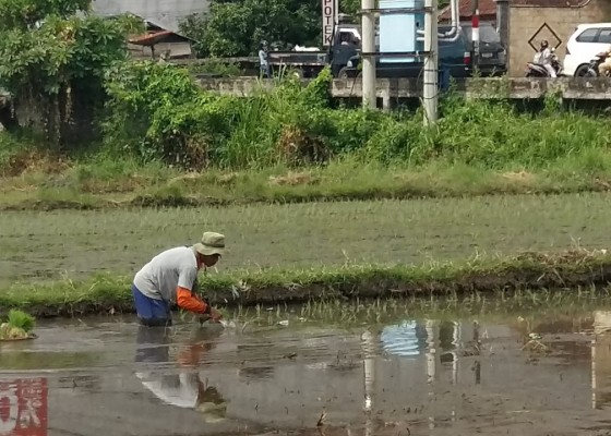 Nusabali.com - hama-serang-6-hektare-padi-di-subak-sambangan