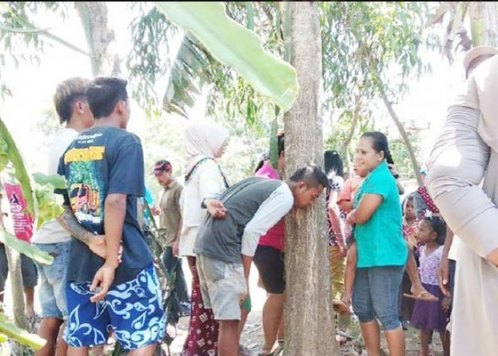 Nusabali.com - heboh-pohon-akasia-menangis-di-jember