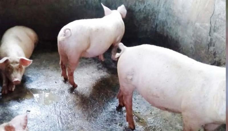 www.nusabali.com-sejumlah-babi-di-sentra-ternak-mati-mendadak