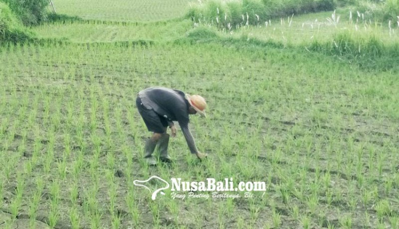 www.nusabali.com-petani-kesulitan-air-padi-baru-tanam-mengering