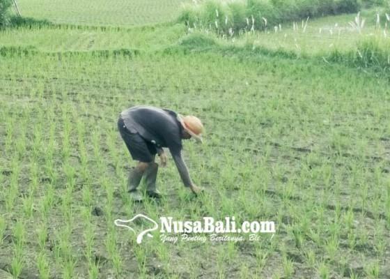 Nusabali.com - petani-kesulitan-air-padi-baru-tanam-mengering