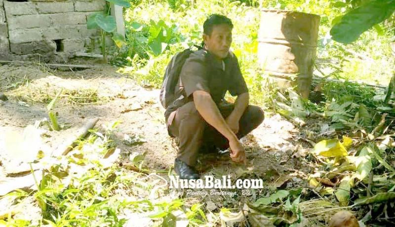www.nusabali.com-puluhan-babi-mati-mendadak-di-jegu