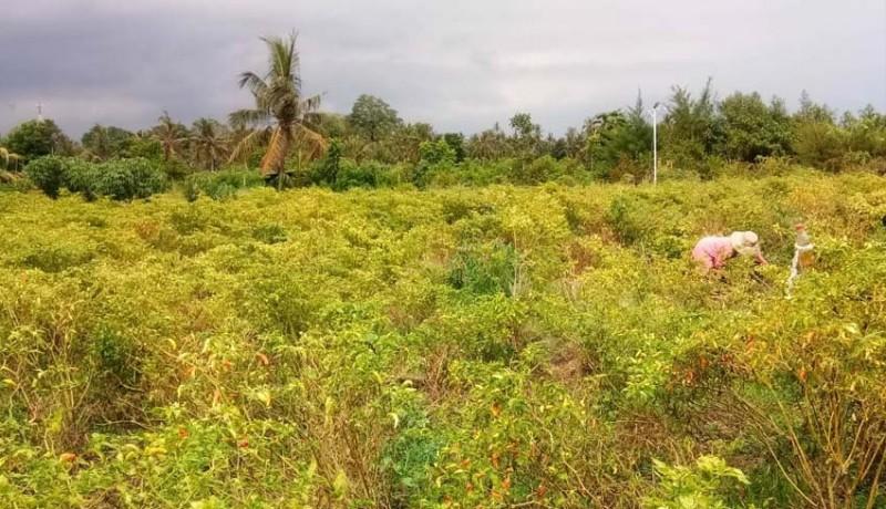 www.nusabali.com-harga-naik-petani-cabai-sumringah