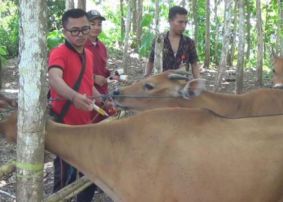 Nusabali.com - 117-ekor-sapi-bali-diperiksa-kesehatan