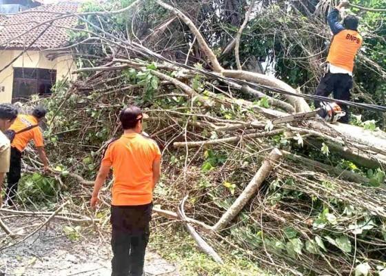 Nusabali.com - pohon-tumbang-timpa-palinggih