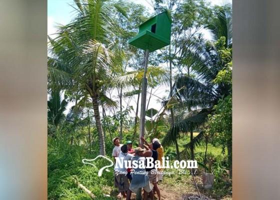 Nusabali.com - berantas-tikus-petani-bangun-rumah-burung-hantu