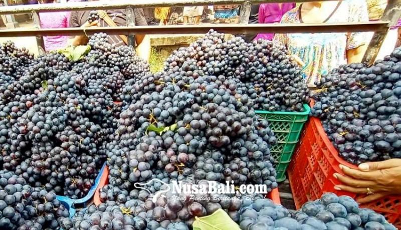 www.nusabali.com-panen-raya-anggur-buleleng-melimpah