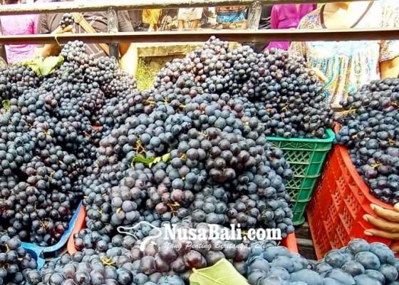 Nusabali.com - panen-raya-anggur-buleleng-melimpah