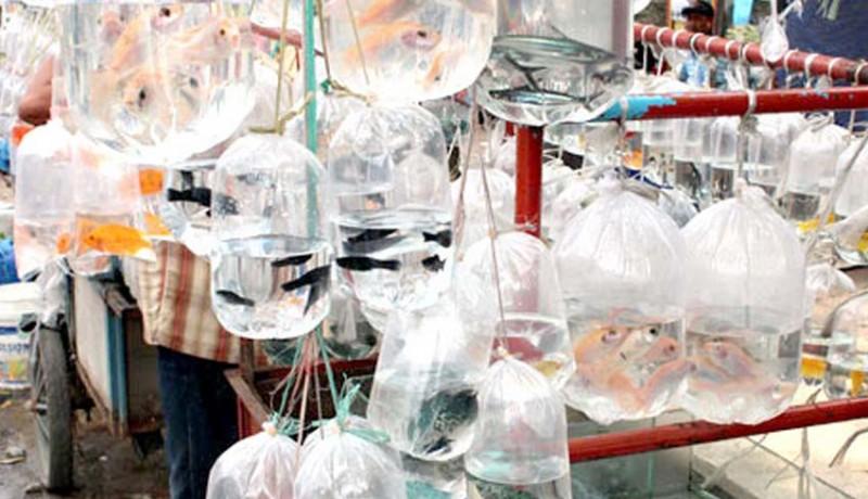 www.nusabali.com-produksi-ikan-hias-ditargetkan-18-miliar-ekor