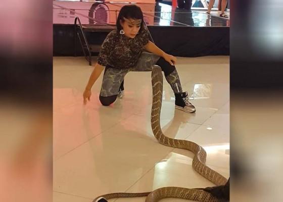 Nusabali.com - pernah-dipatuk-ular-dijaga-sosok-nenek-saat-pentas