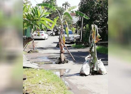 Nusabali.com - warga-canggu-tanam-pisang-di-tengah-jalan