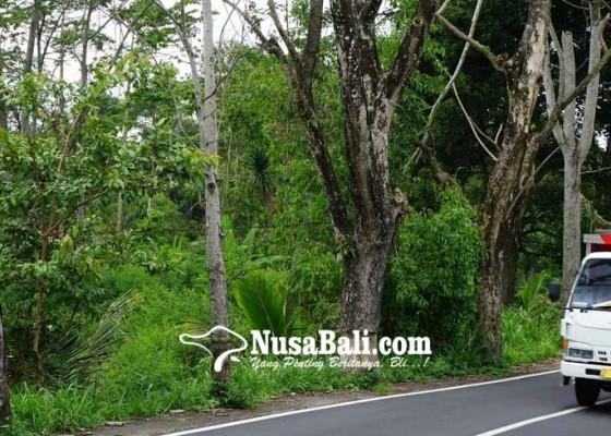 Nusabali.com - puluhan-pohon-perindang-mati-dikuliti-orang-tak-dikenal