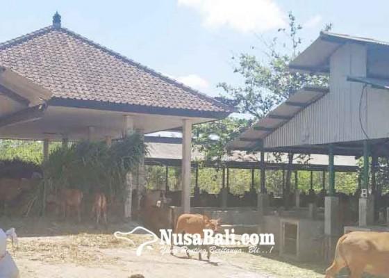 Nusabali.com - belanja-bahan-pakan-ternak-gagal-tender