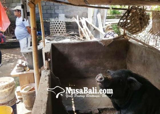 Nusabali.com - peternak-babi-di-buleleng-cemaskan-dampak-asf