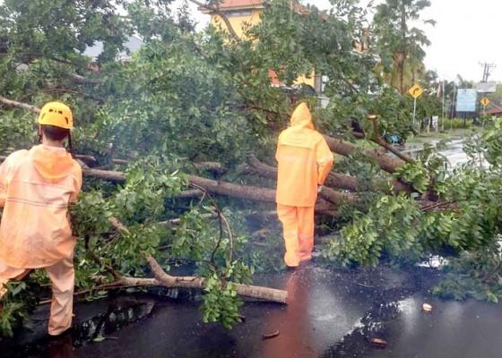 Nusabali.com - hujan-1-jam-dua-pohon-tumbang-di-jalan-umum-denpasar-gilimanuk