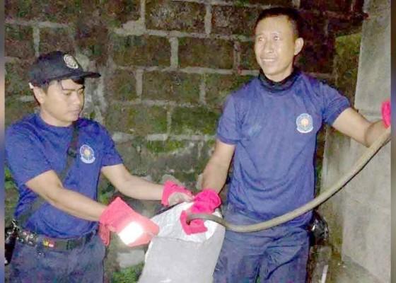 Nusabali.com - damkar-evakuasi-sarang-tawon-dan-ular