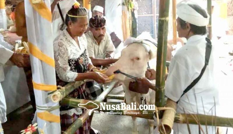 www.nusabali.com-krama-desa-geriana-kangin-gelar-ritual-mamineh-empehan