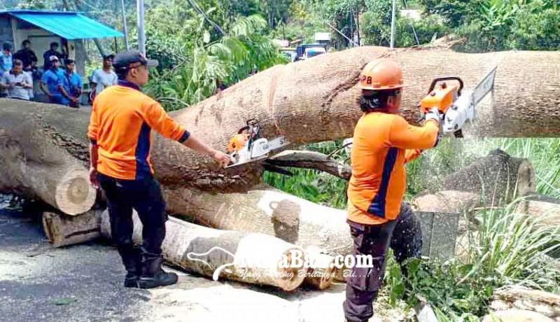 www.nusabali.com-akses-amlapura-singaraja-tertutup-pohon-tumbang
