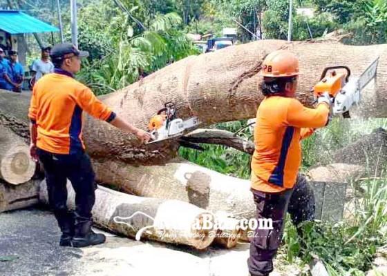 Nusabali.com - akses-amlapura-singaraja-tertutup-pohon-tumbang
