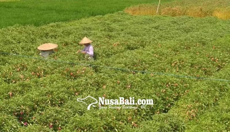 www.nusabali.com-harga-bunga-pacah-di-tingkat-petani-normal