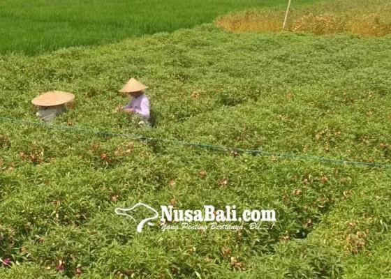 Nusabali.com - harga-bunga-pacah-di-tingkat-petani-normal