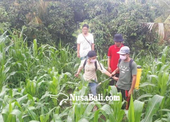 Nusabali.com - 19-hektare-lahan-jagung-diserang-ulat-grayak