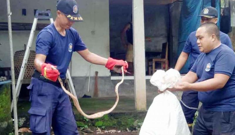 www.nusabali.com-petugas-damkar-tangkap-dua-ular-piton