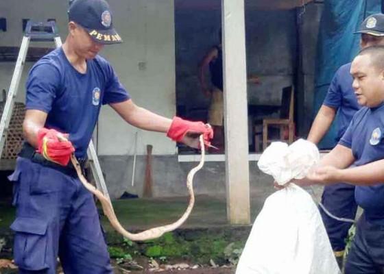 Nusabali.com - petugas-damkar-tangkap-dua-ular-piton