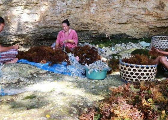 Nusabali.com - penyakit-ice-ice-serang-rumput-laut