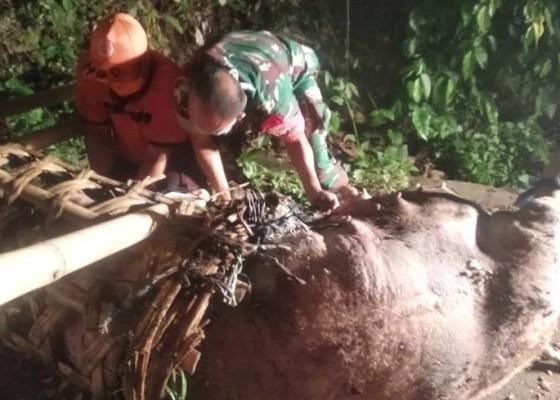 Nusabali.com - bangkai-babi-kejutkan-warga-bakas-getakan