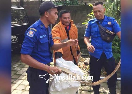 Nusabali.com - damkar-evakuasi-ular-pohon-di-apit-yeh