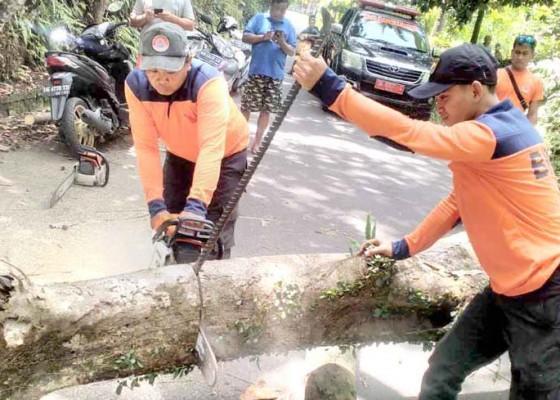 Nusabali.com - tumbang-pohon-bunut-tutup-jalan