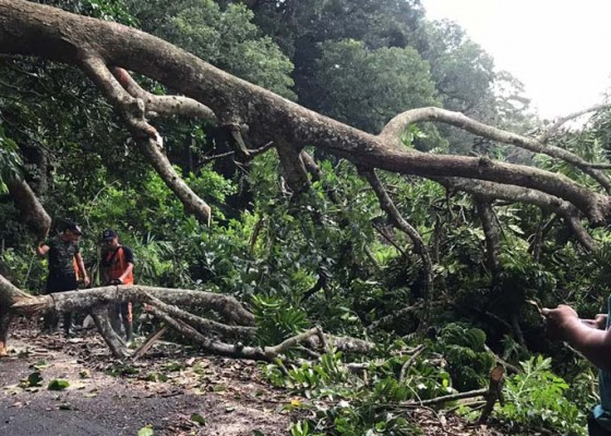 Nusabali.com - pohon-di-alas-kedaton-tumbang-tutup-akses-jalan-dua-desa