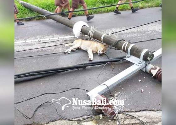 Nusabali.com - tiang-listrik-beton-tumbang-timpa-seekor-anjing