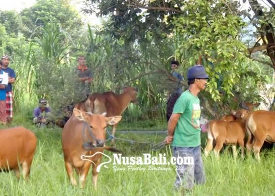 Nusabali.com - tradisi-maedeng-memilih-godel-kurban-tawur-kesanga
