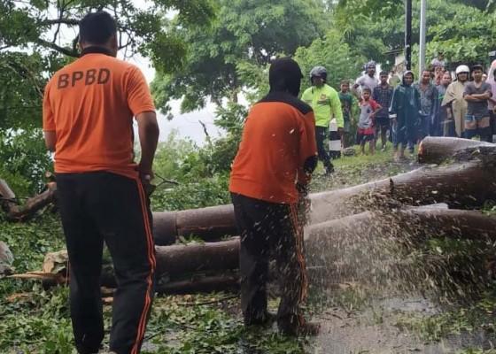 Nusabali.com - pohon-tumbang-sempat-lumpuhkan-akses-singaraja-amlapura