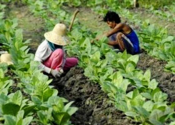 Nusabali.com - petani-tembakau-mulai-panik
