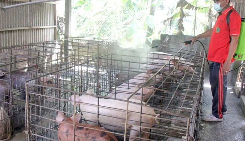 www.nusabali.com-sebulan-ratusan-ekor-babi-mati-di-jembrana