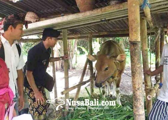 Nusabali.com - desa-muncan-punya-program-bantuan-bibit-sapi