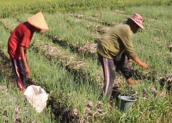 Nusabali.com - petani-bawang-gagal-panen
